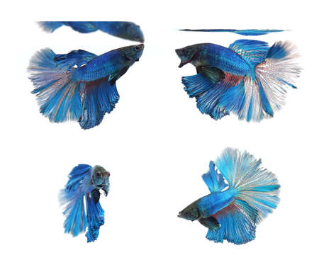 half moon tail: Betta fishes, siamese fighting fish isolated on white backgroundBlue Half Moon
