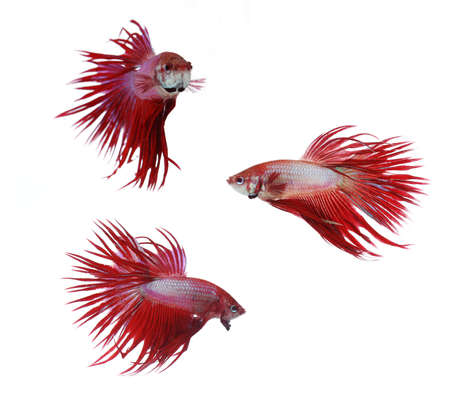 crown tail: Betta fishes, siamese fighting fish isolated on white backgroundRed Crown Tail