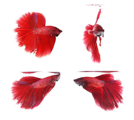 half moon tail: Betta fishes, siamese fighting fish isolated on white backgroundRed Halfmoon Stock Photo