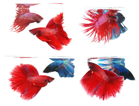 half moon tail: Betta fishes, siamese fighting fish isolated on white background Crown tail and Half moon