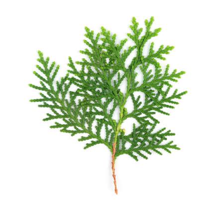 arborvitae: Leaves of pine tree or Oriental Arborvitae , Scientific Name:Thuja Orientalis , on white background Stock Photo