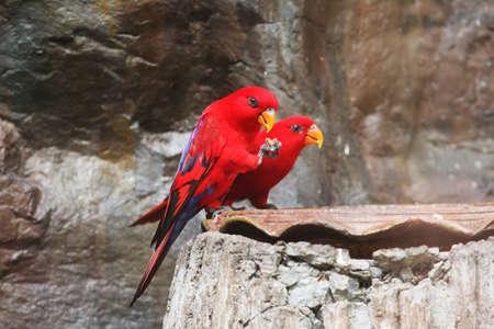 eos: Couple of Red-Lory (Eos bornea) eating their food Stock Photo