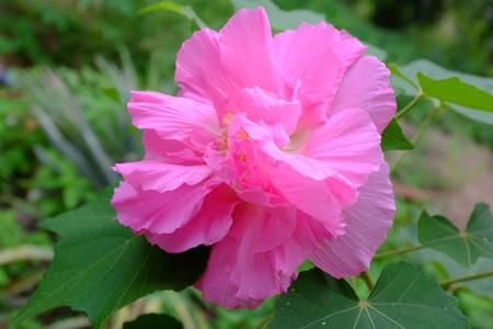 Hibiscus mutabilis known as Bunga Baba Pukul Nyonya in Malaysia Stock Photo