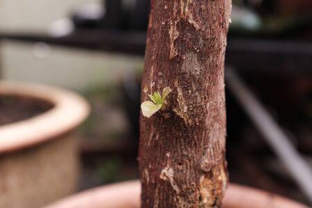 Bougainvillea stick sprouting