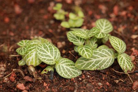 Mini Fittonia thriving to grow Stock Photo