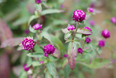 globosa: Gomphrena globosa bloom in the field