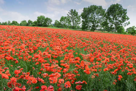 Red poppy flowers on the field as a symbol for Remembrance Day. Bright flower with soft focus of poppies on meadow,