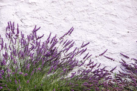 several plant lavender, located near a white wall, capable as a background, purple lavender 免版税图像