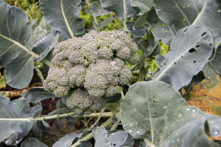 young broccoli growing on the vegetable bed, in the garden, close up