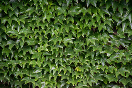 Natural green leaf wall, Texture background, close up