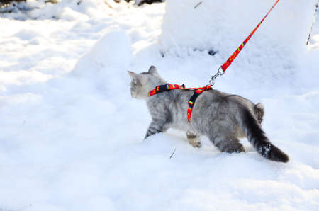 Man leads a cat on a leash. winter time