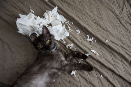 Funny kitten playing with the toilet paper on the blanket in the living room. Paper crumpled, torn