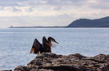 Double-crested cormorant in Ibiza Stock Photo