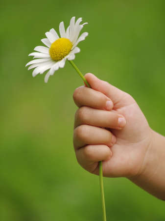 hand holding flower: Little hand with flower daisy Stock Photo