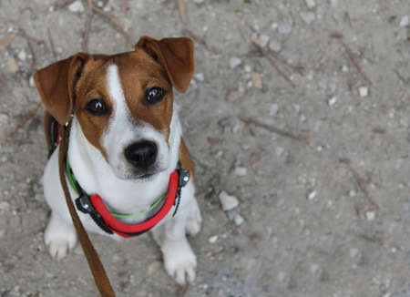 Currious puppy Jack Russel Terrier
