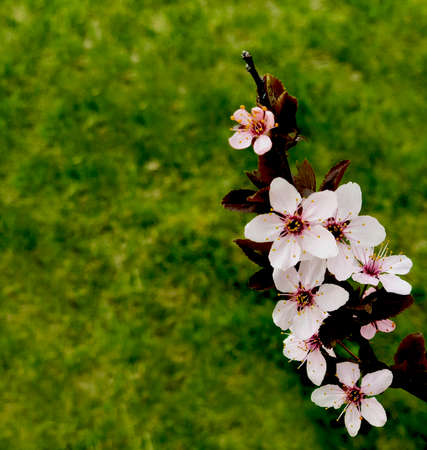 pinlk blossom peach blooming in the spring on grass background fresh Stock Photo