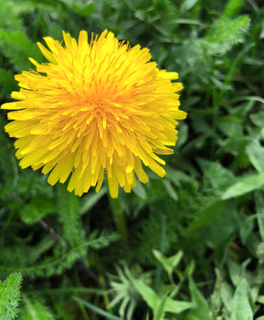Dandelion blooming in a sunny spring day