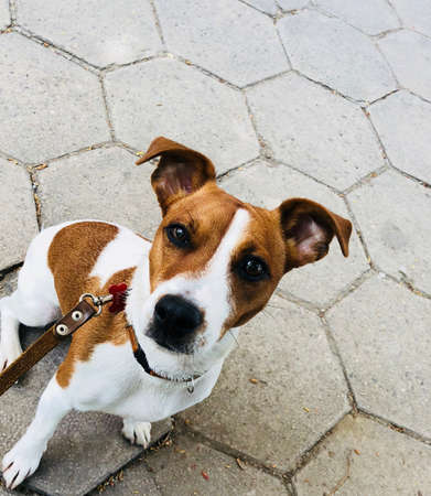 Jack russel dog pet white and brown on a leash waiting Stock Photo