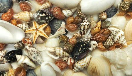 tiny seashell starfish shell summer season closeup concept Stock Photo