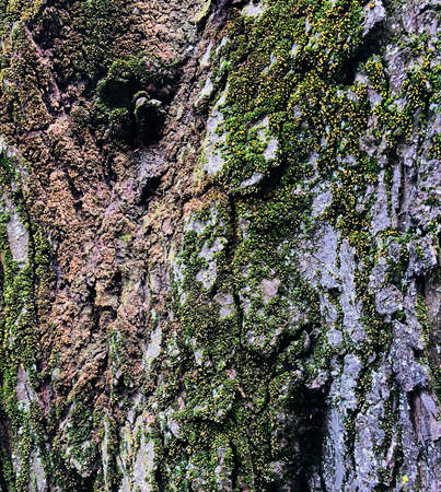 wooden texture  old aged tree cracked bumpy bark covered with fresh green moss background