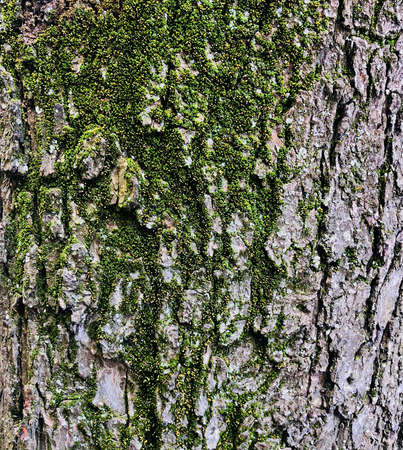 wooden texture old aged tree cracked bark covered with fresh green moss background