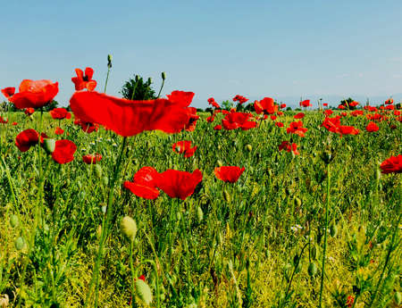 field of poppy perspective on a bright sunny day spring season time concept Stock Photo