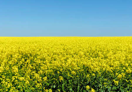 rural background of a field with rapeseed in a bright suny day Stock Photo