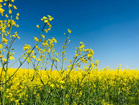 closeup rapeseed with a field background in a bright suny day rural background