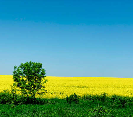 lonely tree on a rapeseed field background in a bright suny day rural background loneliness concept Stock Photo
