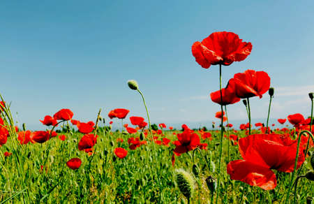 poppy field on a bright sunny day spring season time concept Stock Photo