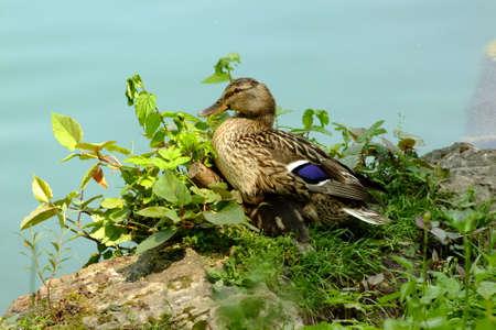 color image mallard duck: duck bird picture