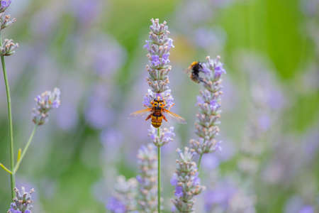Closeup of a hornet on lavender flower