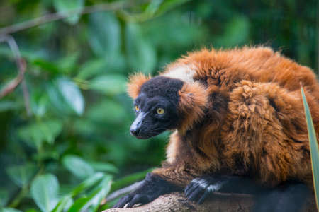 closeup of ape with a branch in the background Stock Photo