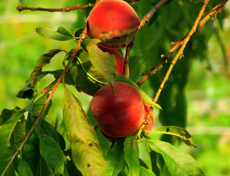Close up of ripe peaches on branch