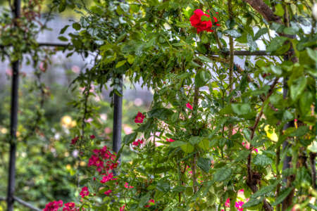 Red climbing roses on a garden trellis or arbor just coming into flower in spring or early summer in a close up view