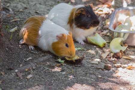 close-up image of two small guinea pigs eating