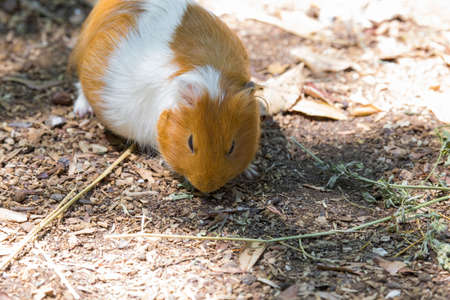 close-up image of a small rodent called a guinea pig Фото со стока