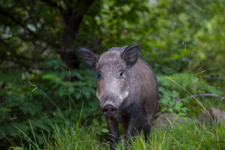 horizontal image of an adult wild boar looking towards the photographer Archivio Fotografico