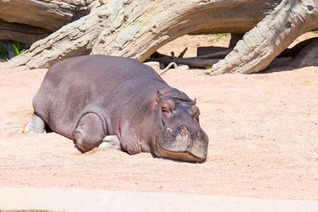 amusing horizontal image of a lying hippo relaxing in a park
