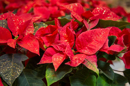 horizontal image with detail close up of a Christmas plant with red leaves Banco de Imagens