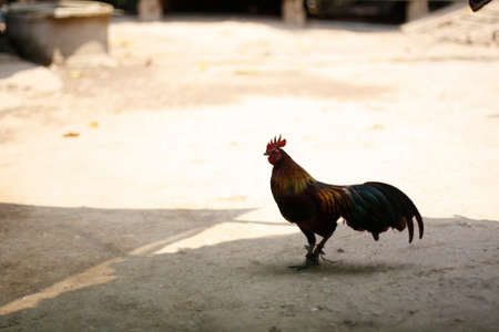 a Thai fighting Rooster standing on a dirt path in a village in Northern Thailand