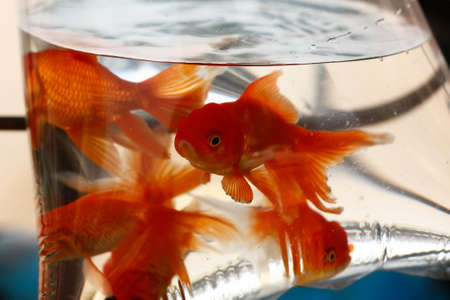 multiple goldfish of varying sizes in a plastic bag being sold on the street in Laos, Southeast Asia