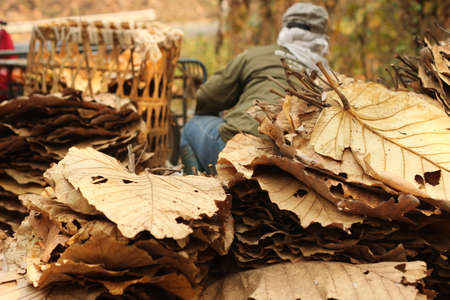 large dried teak tree leaves being collected and trimmed to be used as natural environmentally friendly roofing material in isolated country rural villages, Northern Thailand, Southeast Asia Banco de Imagens