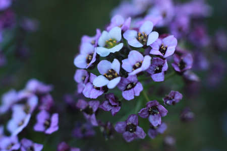 close up details and colors on small tiny flowers on a Hydrangea bush