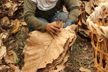 large dried teak tree leaves being collected and trimmed to be used as natural environmentally friendly roofing material in isolated country rural villages, Northern Thailand, Southeast Asia Banco de Imagens - 128840468