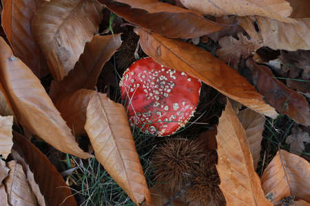 bright red spotted mushroom, Amanita muscaria, growing alone amongst dried crispy fallen autumn leaves Stock fotó