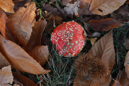 bright red spotted mushroom, Amanita muscaria, growing alone amongst dried crispy fallen autumn leaves Banco de Imagens