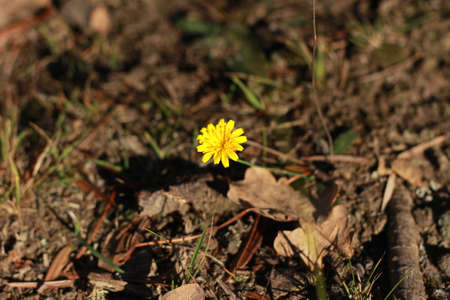 single bright yellow lone fresh flower growing thru autumn leaves and undergrowth