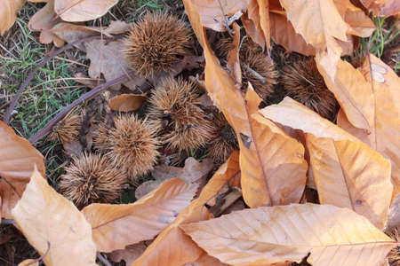 brown orange crispy Autumn leaves lying dried on the forest floor on a sunny Autumn day