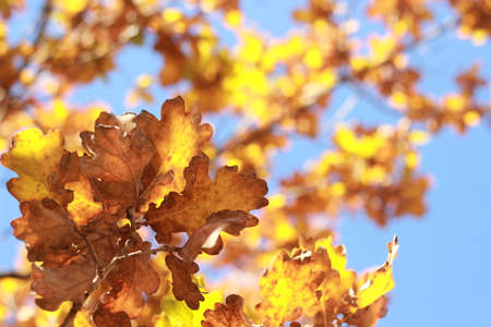 Looking up at clear blue sky thru crisp orange and brown autumn leaves